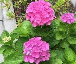 紫陽花2016.6.12�B.jpg
