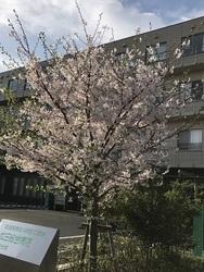 蒲田分院さくら2.jpg